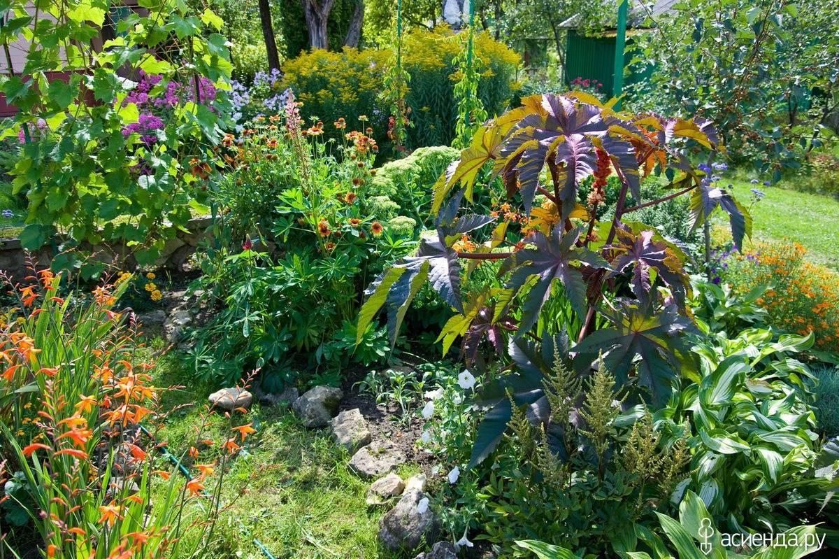 Клещевина: выращивание из семян в домашних условиях