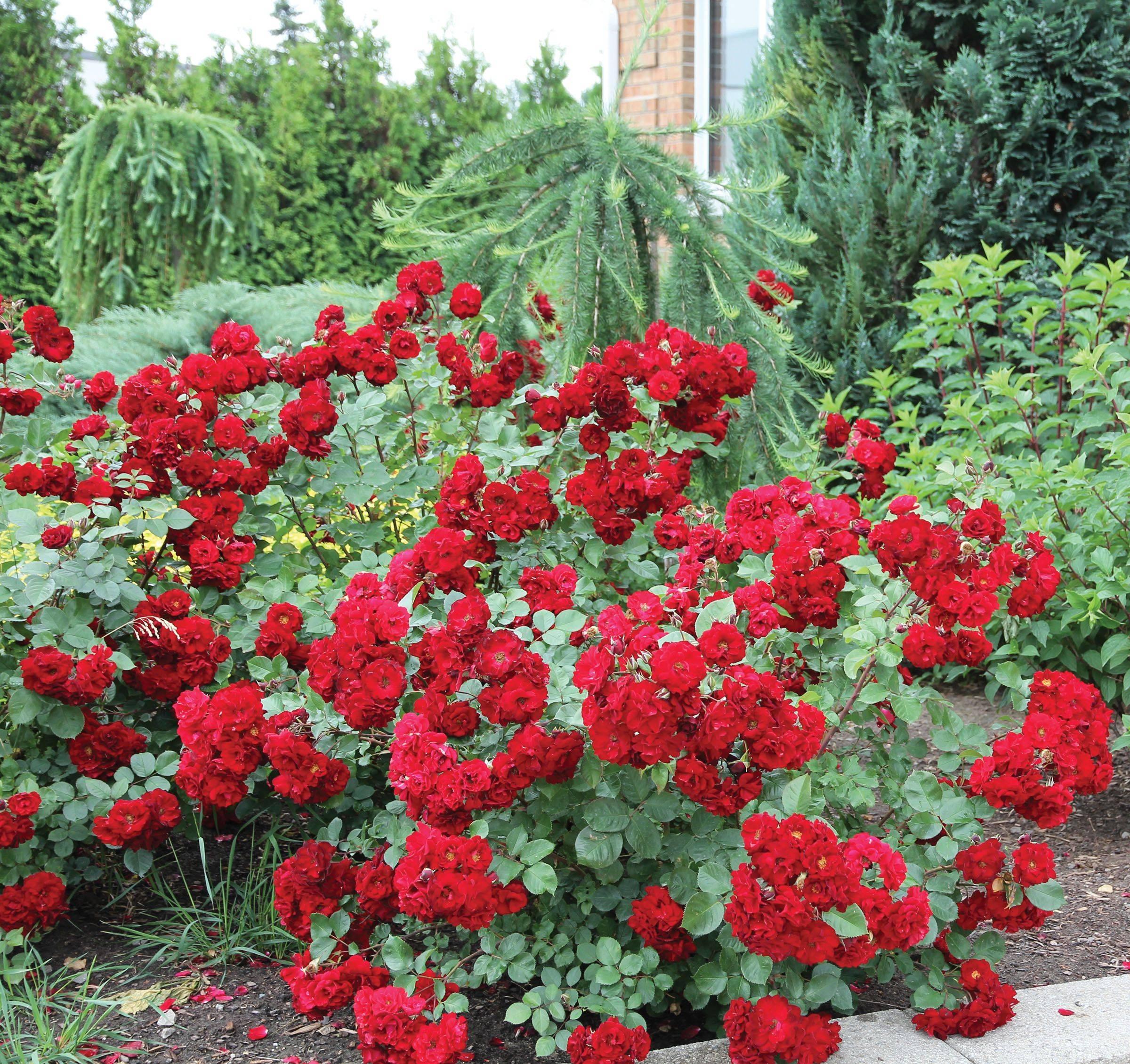 Роза аделаида худлесс