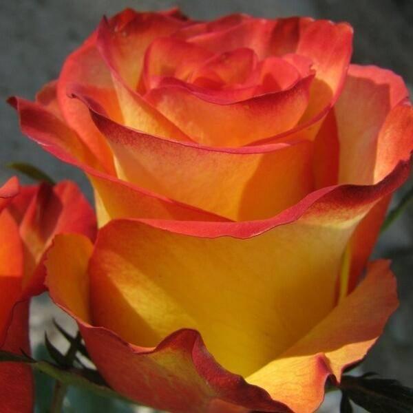 Сорта роз оранжевого цвета: какие бывают, наиболее популярные для посадки