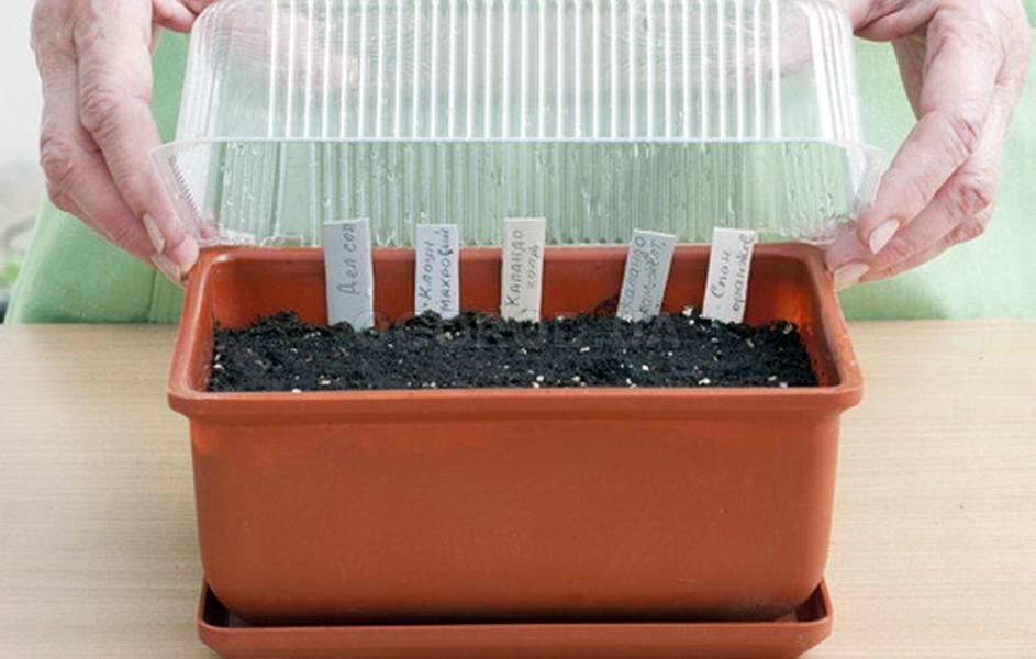 Посадка бархатцев в открытый грунт, как ухаживать за рассадой, выращивание из семян