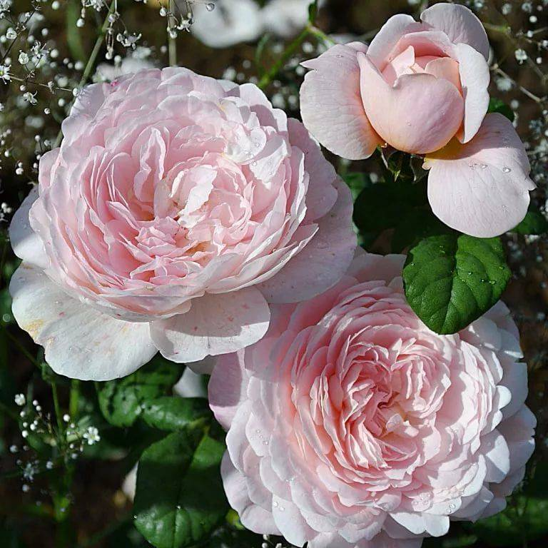 Технология выращивания розы флорибунда сорта куин элизабет в открытом грунте