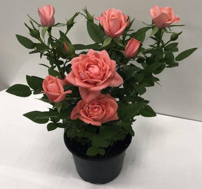 Описание сортовой розы сахара: особенности выращивания шраба, как ухаживать