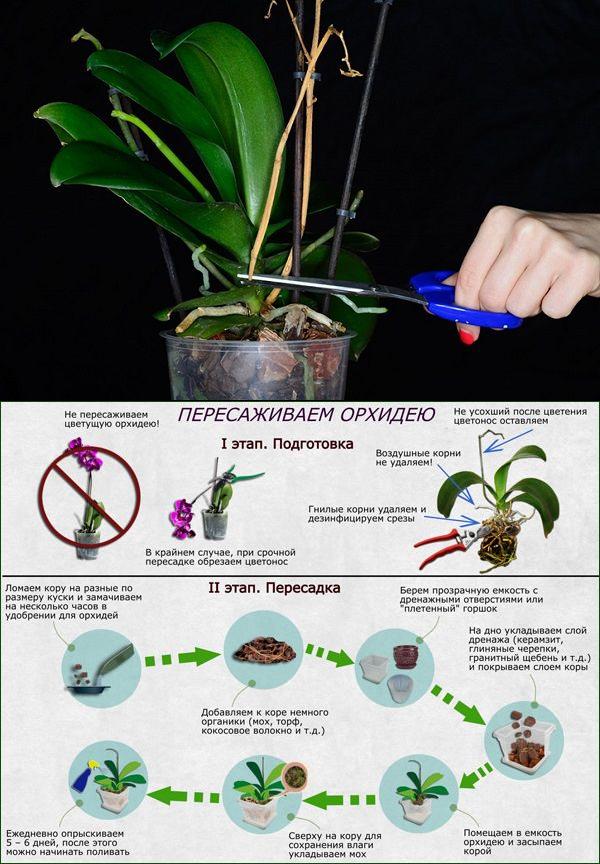 Можно ли пересаживать цветущую орхидею: количество раз и необходимость процедуры