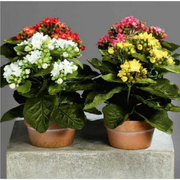 Каланхоэ:  уход в домашних условиях за цветком каландива после покупки