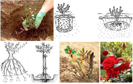 Как и когда посадить розу осенью