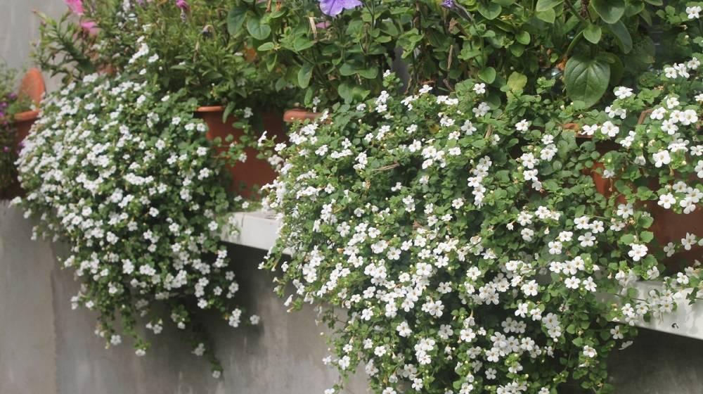 Бакопа ампельная: особенности выращивания в домашних условиях
