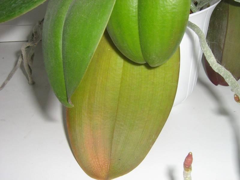 Какие бывают болезни у листьев орхидеи фаленопсис? пошаговая инструкция по лечению