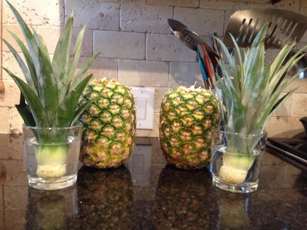 Как растет ананас на природе и дома