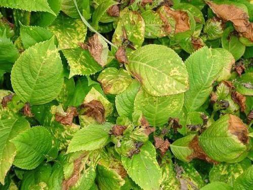 Гортензия: сохнут листья, что делать? болезни и вредители растения
