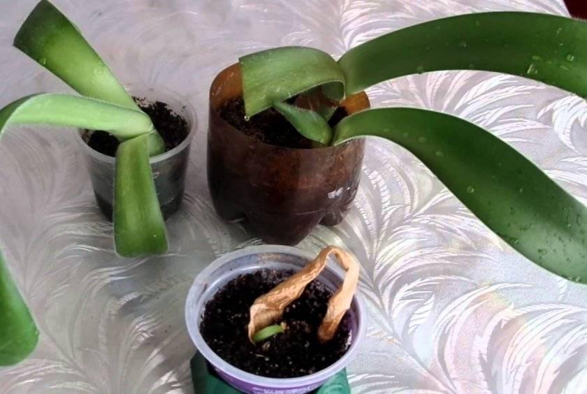 Гемантус (haemanthus). период покоя и цветения, правила ухода, размножения.