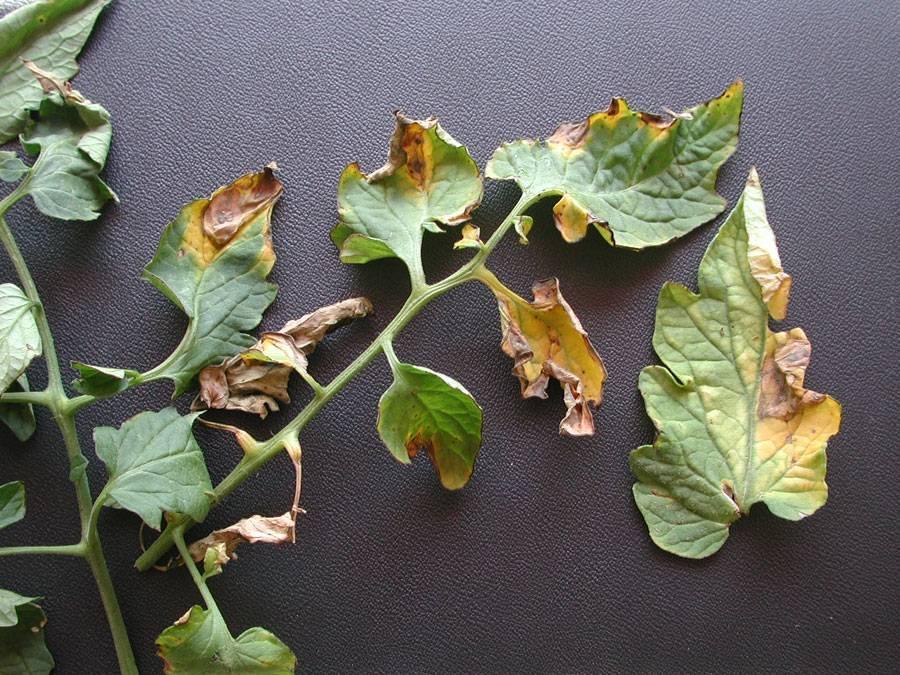 Почему у бегонии желтеют и сохнут листья: причины, а также что надо делать для профилактики болезни растения?