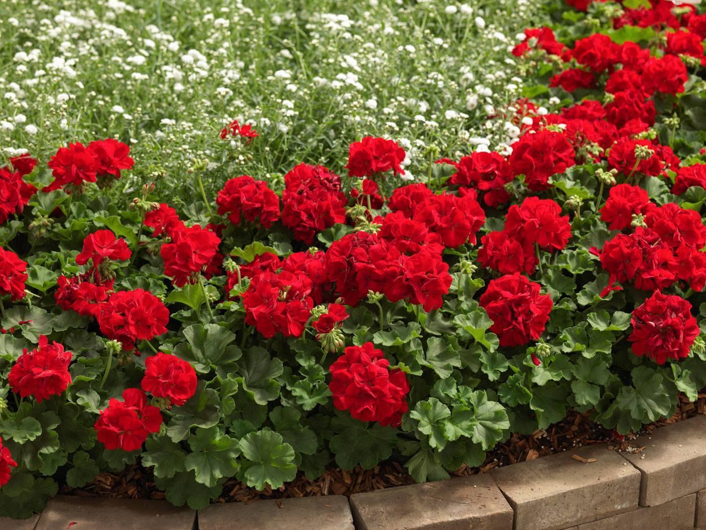 Очарование герани: обзор садовых многолетних сортов с описанием и фото, размножение и уход