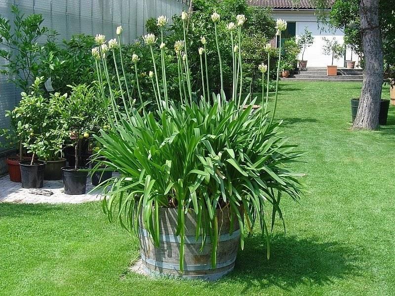Агапантус в открытом грунте – изящное украшение сада