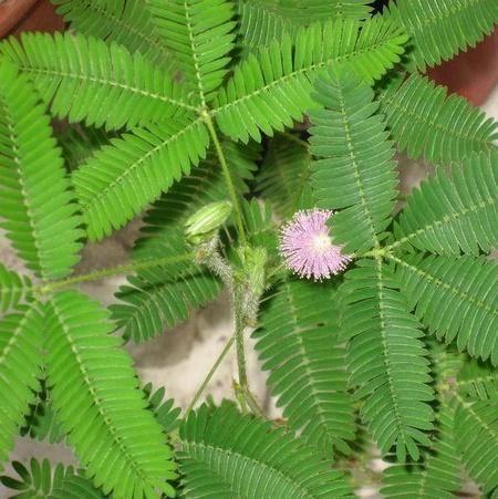 Выращивание мимозы стыдливой из семян в домашних условиях: уход за цветком