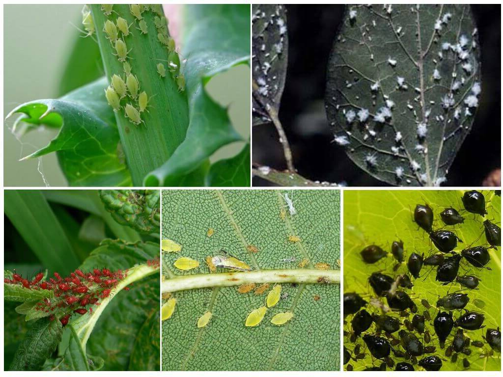 Способы как избавиться от тли на комнатных цветах; средства от тли как химические, так и народные