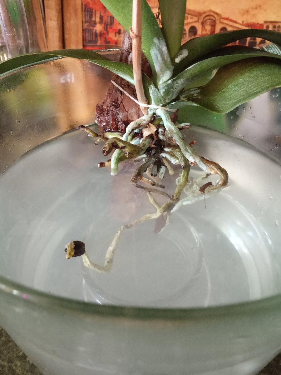 Как поливать орхидею в домашних условиях, полив цветущей орхидеи
