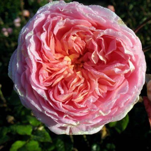 Подробное описание сорта роз абрахам дерби - общая информация - 2020