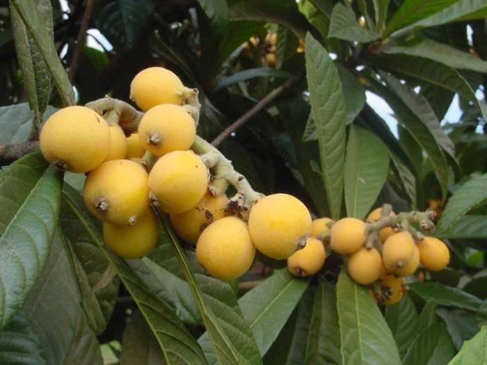 Мушмула: описание, уход и размножение дома