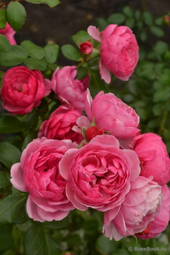Роза флорибунда goldelse (голдэлс) — золотое сияние