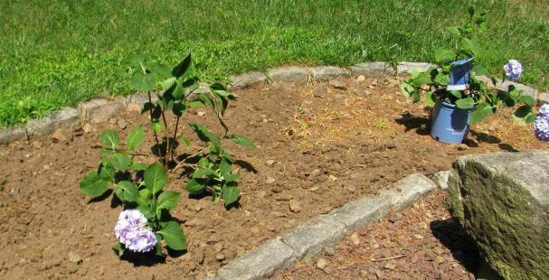 Технология выращивания гортензии в открытом грунте. как правильно посадить и ухаживать за растением?