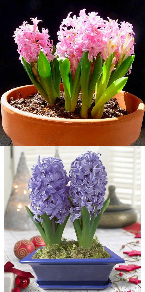 Гиацинт - посадка и уход, выгонка - как выращивать цветок в домашних условиях, в горшке