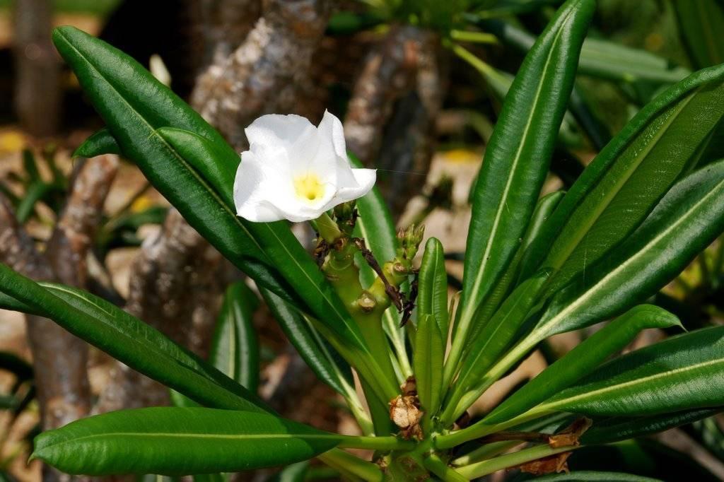 Мадагаскарская пальма — уход в домашних условиях за кактусом пахиподиумом