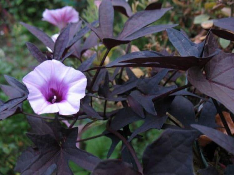 Ипомея пурпурная: сорта, посадка и уход