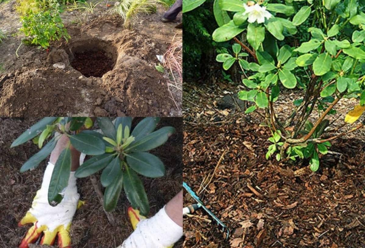 Азалия японская садовая: посадка и уход в открытом грунте - полезная информация