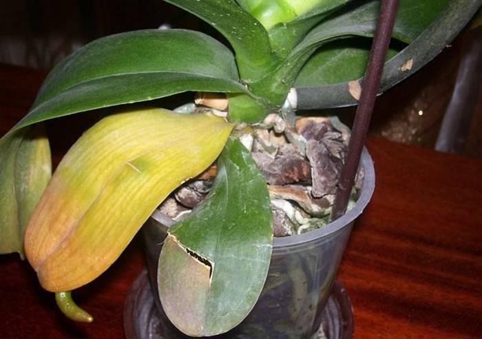 Что делать если листья орхидеи желтеют и засыхают? инструкция по спасению орхидеи