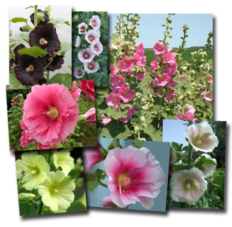 Мальва: цветок из китайского праздника
