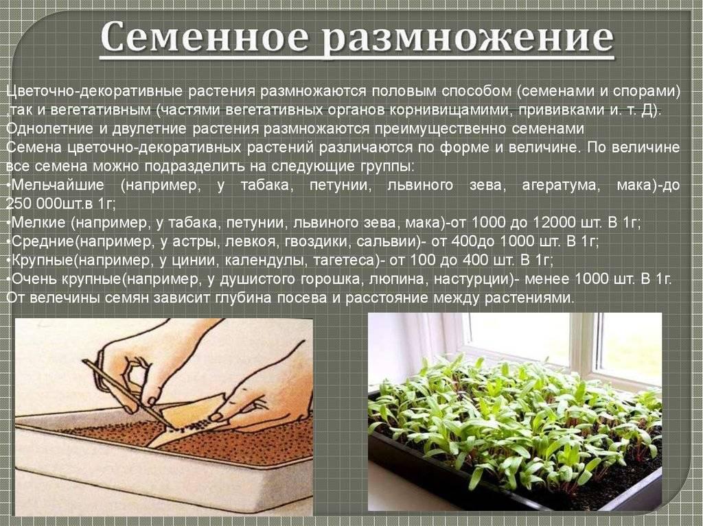 Очиток: выбираем сорт, сажаем и ухаживаем. выращиваем и заботимся.