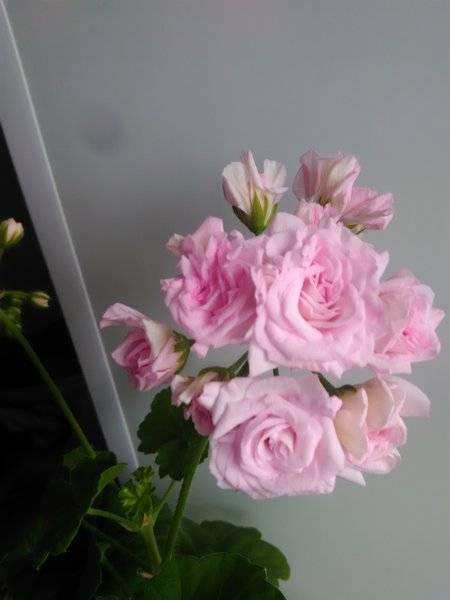 Пеларгония зональная (59 фото): что это значит? описание герани «ю-джинга» и lake, «рафаэлла f1» и других сортов. правила посадки цветка семенами и другими способами