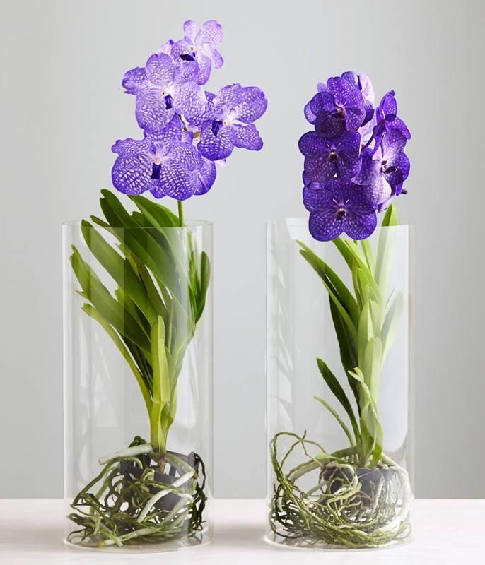 Орхидея фаленопсис: основные виды и варианты ухода в домашних условиях - pocvetam.ru