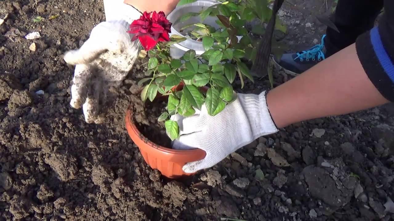 Как посадить арабис в открытый грунт? уход