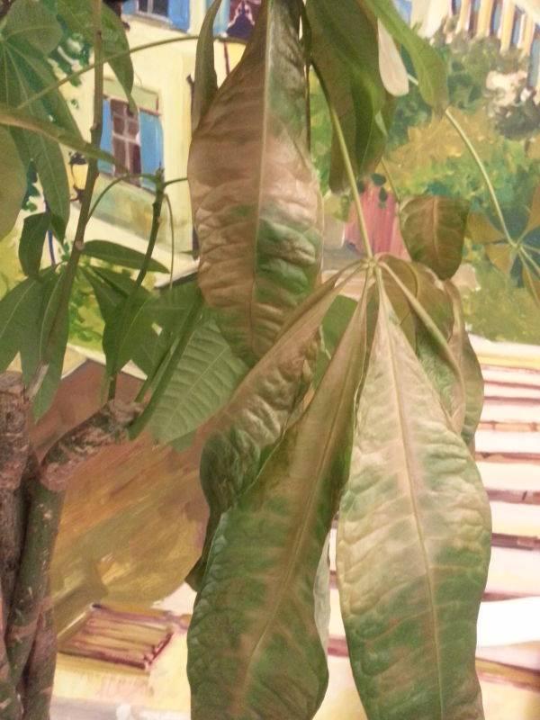 Кротон сухие пятна на листьях. почему у вашего кротона сохнут и опадают листья