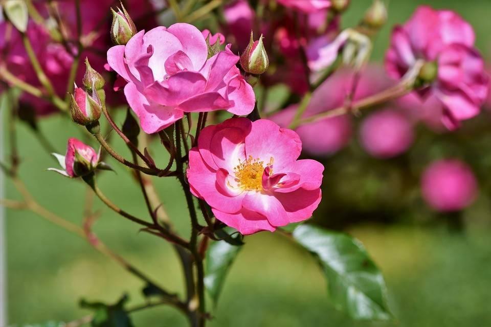 Как привить розу на шиповник методом окулировки