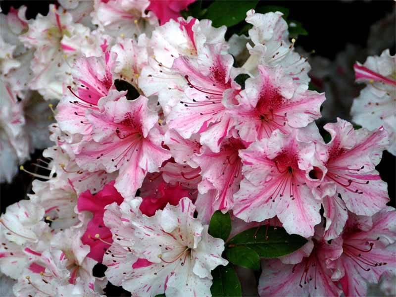 Цветы рододендроны — фото, виды, посадка и уход