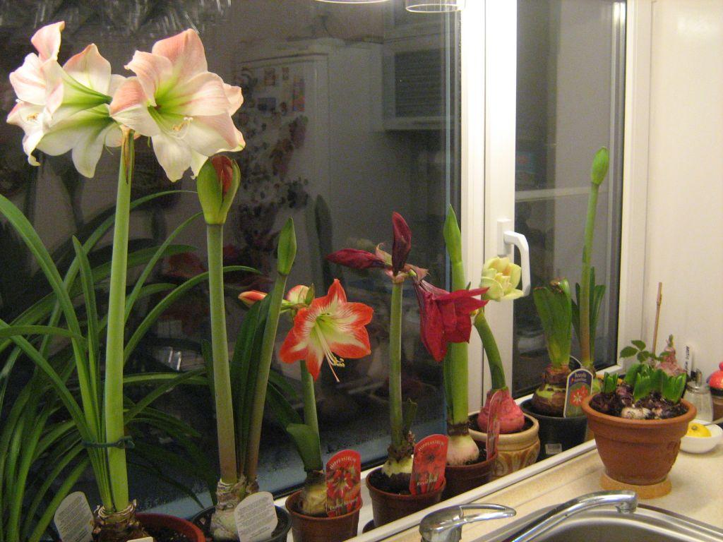 Уход за гиппеаструмом после цветения в домашних условиях: что делать со стрелкой, когда гиппеаструм отцвел? как его обрезать?