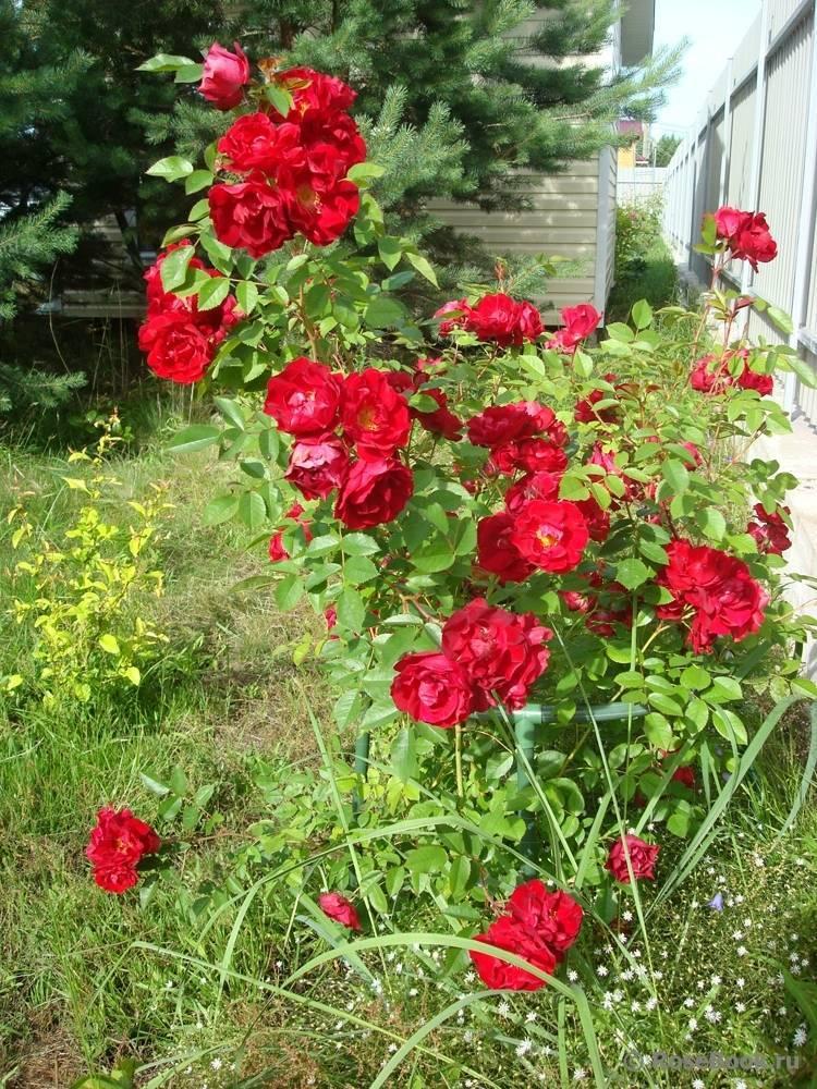 Аделаида худлесс роза