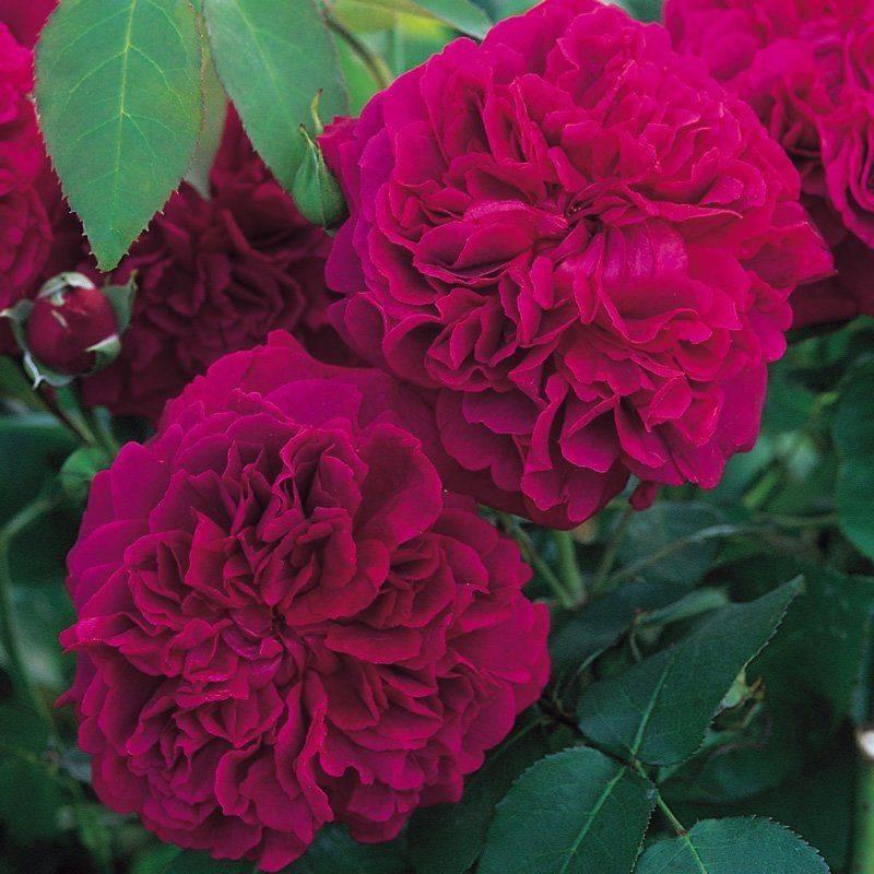 Розы имени «уильяма шекспира»: подробное описание