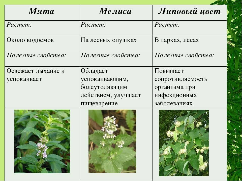 Мелисса это мята? в чем разница между растениями и как их отличить?
