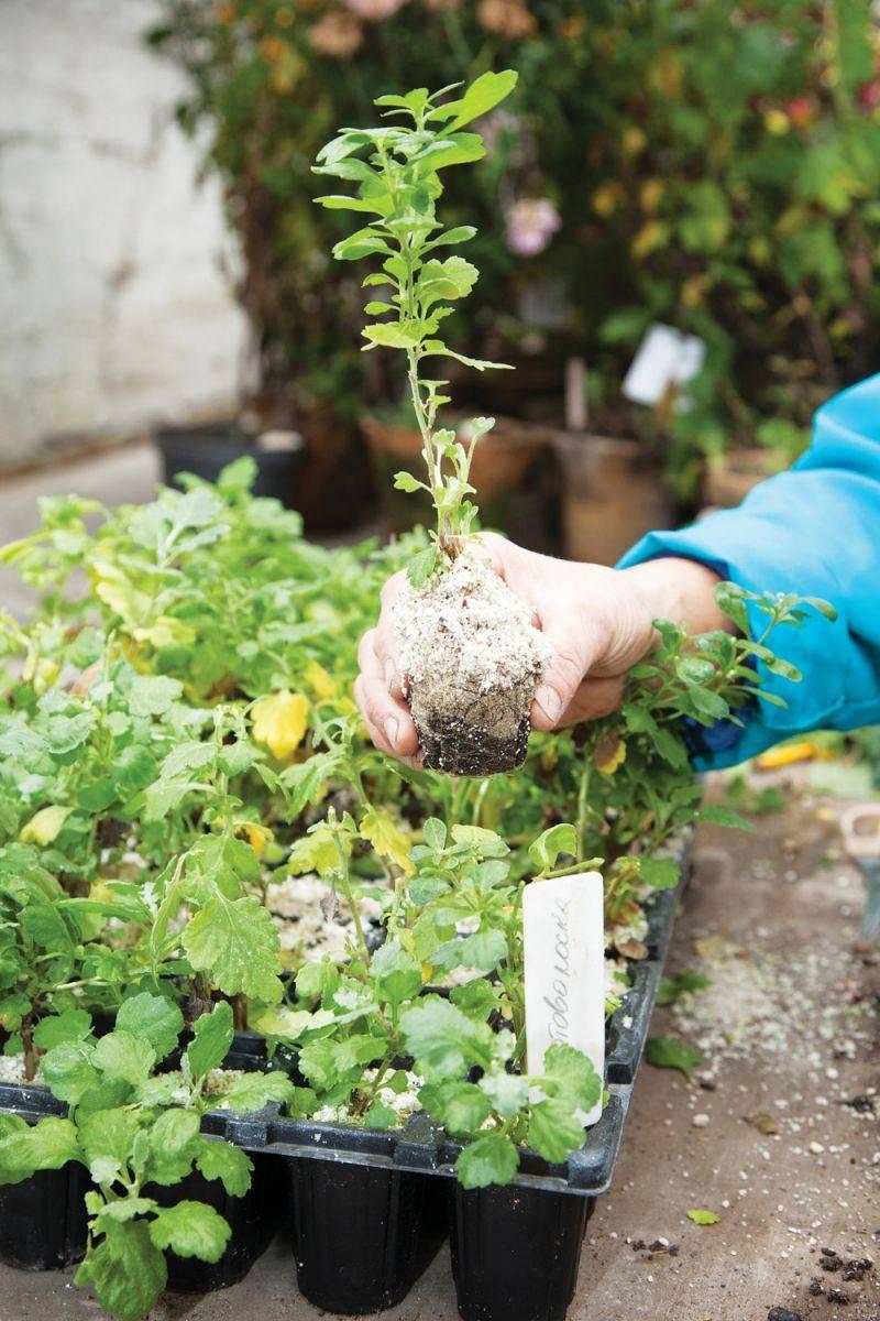 Выращиваем хризантему из букета: размножение черенками из срезанного цветка