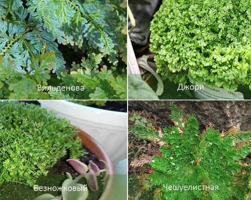 Бессмертное растение «селагинелла чешуелистная» (лепидофилла): уход в домашних условиях