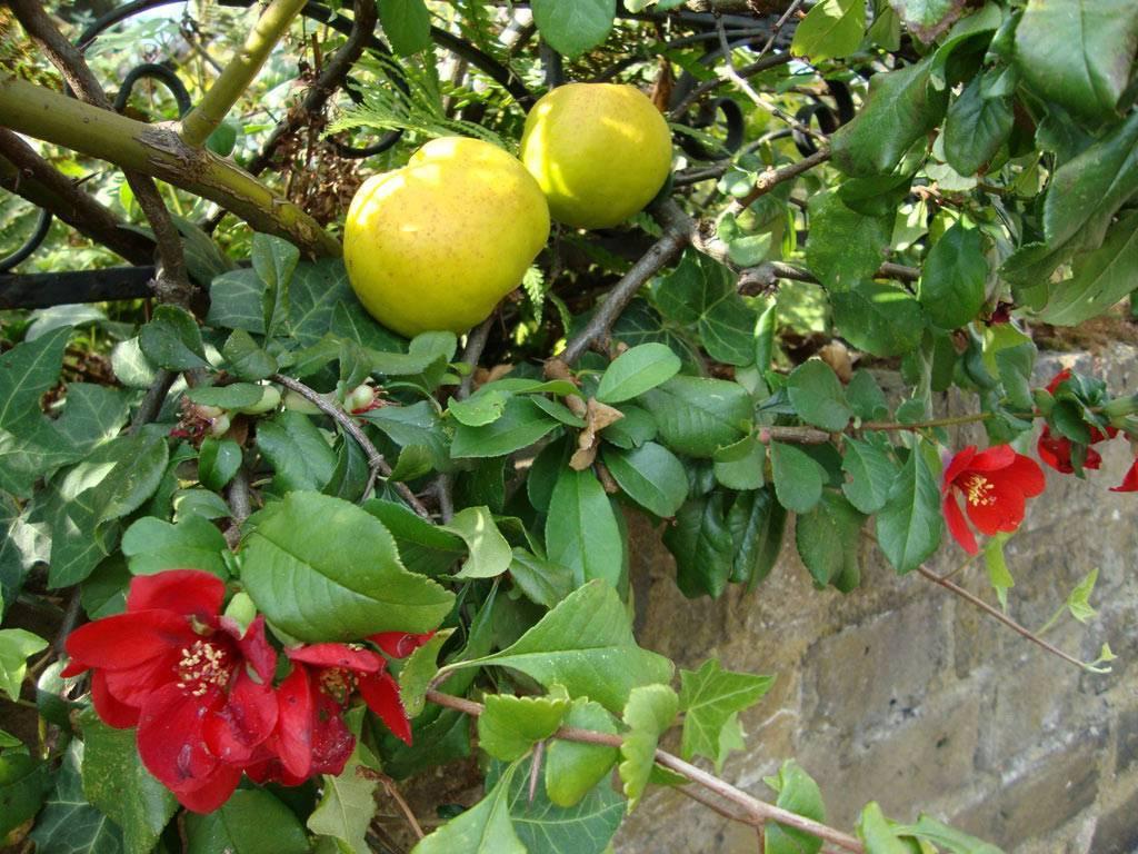 Кустарник айва обыкновенная и японская: фото, полезные свойства, противопоказания, лечебное применение плодов, семян и листьев