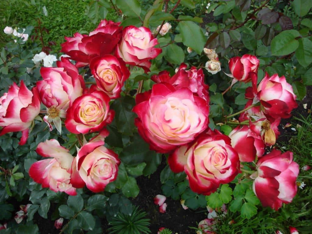 Роза флорибунда: сведения о том, что это такое с описанием, характеристикой, названиями сортов, отличие от шраба, вид на фото, применение в ландшафтном дизайне