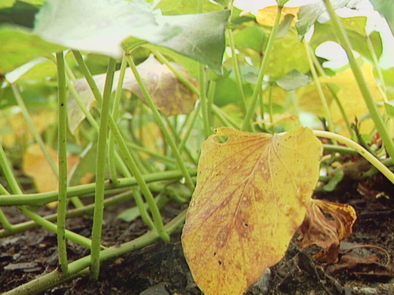 Почему у шеффлеры опадают листья и что делать
