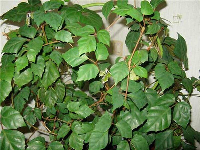 Березка — комнатное растение, домашний цветок