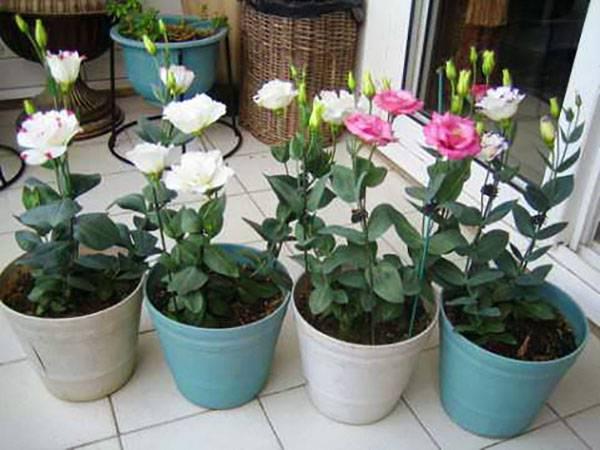 Эустома — выращивание из семян в домашних условиях