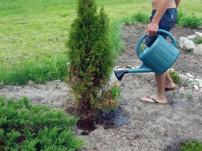 Комнатное кустовидное растение аспарагус мейера: фото и уход в домашних условиях
