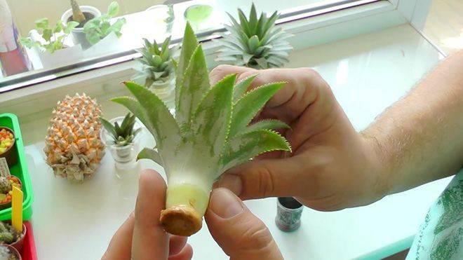 Выращивание ананаса в домашних условиях, посадка, уход и цветение